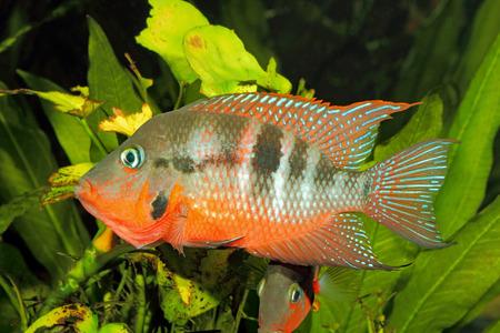 fish tank: Mexican Fire Mouth (Thorichthys meeki) - male