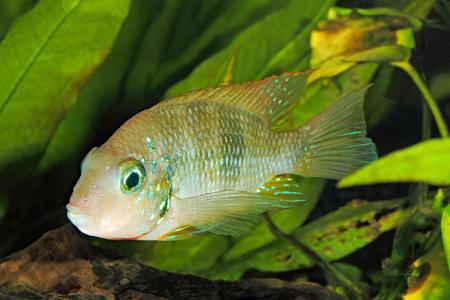 thorichthys: Socoloffs gold cichlid (Thorichthys socoloffi) - male