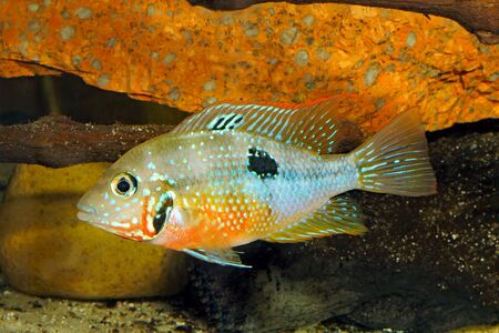 silver perch: Mexican Fire Mouth (Thorichthys ellioti) - female