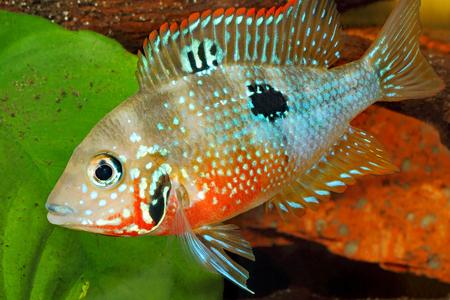fish tank: Mexican Fire Mouth (Thorichthys ellioti) - female