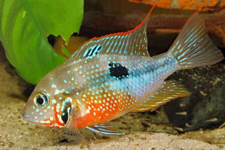 Mexican Firemouth (Thorichthys ellioti) - female with young fish