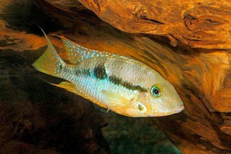cichlid: Yellow Fire Mouth (Thorichthys affinis) - female