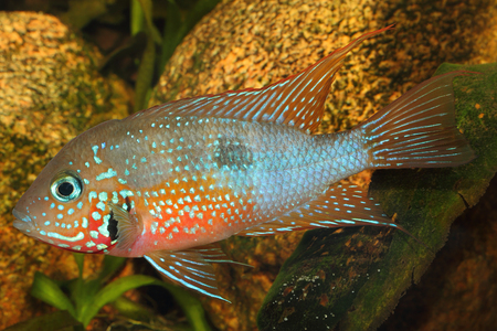 cichlid: Mexican Fire Mouth (Thorichthys ellioti) - male