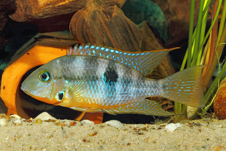 cichlid: Yellow Fire Mouth (Thorichthys affinis) - male