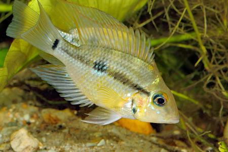 freshwater aquarium fish: Yellow Fire Mouth (Thorichthys pasiones) - juvenile female
