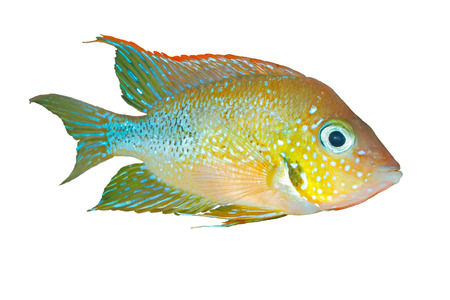 fish tank: Mexican gold cichlid (Thorichthys aureus) - male, isolated Stock Photo