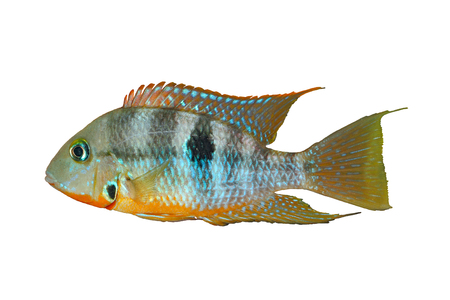 cichlid: Yellow Fire Mouth (Thorichthys affinis) - male, isolated