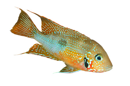 cichlid: Mexican Fire Mouth (Thorichthys ellioti) - male, isolated