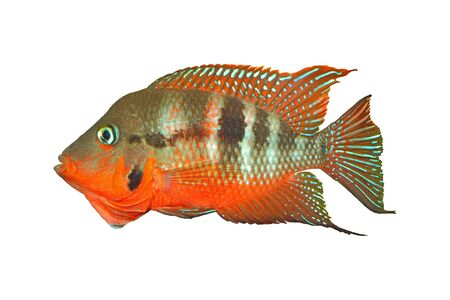 Mexican Fire Mouth (Thorichthys meeki) - male, isolated Stock Photo