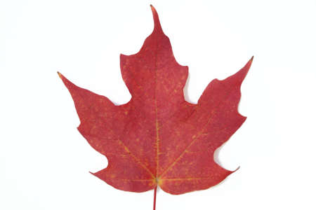 Macro shot of red maple leaf on white background.