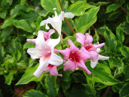variegated: Variegated wigelia