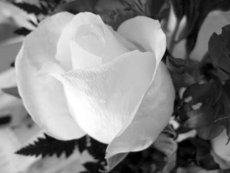 black and white rose bloom Stok Fotoğraf