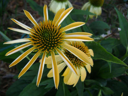 yellow cone flower with folded petals