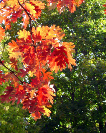 sunlit red and orange fall leaves