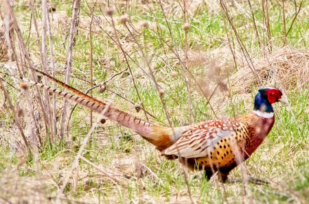 Ring-necked Pheasant in the Tall Grass