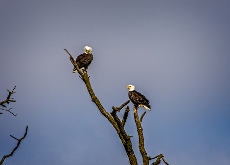 Two Bald Eagles looking for Food in the Lake.