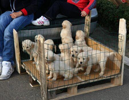 serbia: Puppies at International Dog Show,CACIB, Belgrade,Serbia, November 2011.
