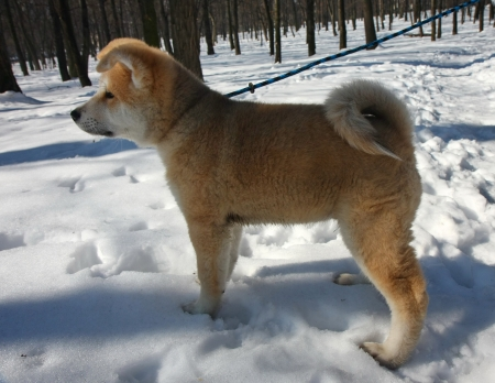 Puppie of Japanese dog Akita Inu,Belgrade,Serbia.First steps on the snow. photo