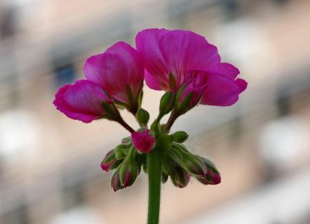 pelargonium: Pelargonium on the garden terrace Stock Photo