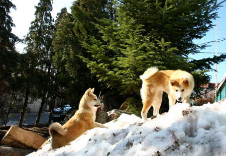 inteligent: Akita Inu female and puppy climb the snow hill