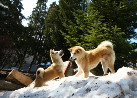 aggressiveness: Akita Inu female and puppy playing on the snow hill