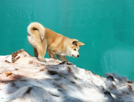 inteligent: Puppy of japanese dog Akita inu playing in the snow Stock Photo