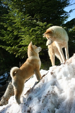inteligent: Akita Inu female and puppy climbing the snow hill Editorial