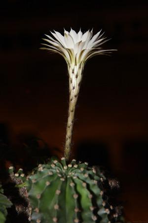 blomming: Blomming white cactus flower on terrace garden Stock Photo