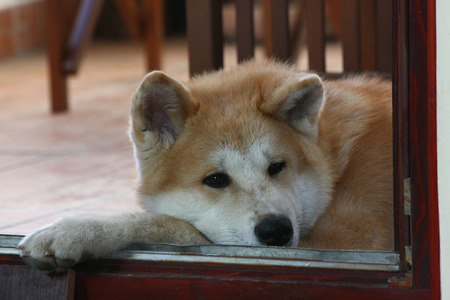 akita: Portrait of Akita Inu puppy resting on terrace Stock Photo