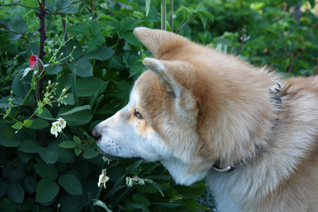 smells: Akita Inu puppy smells flowers