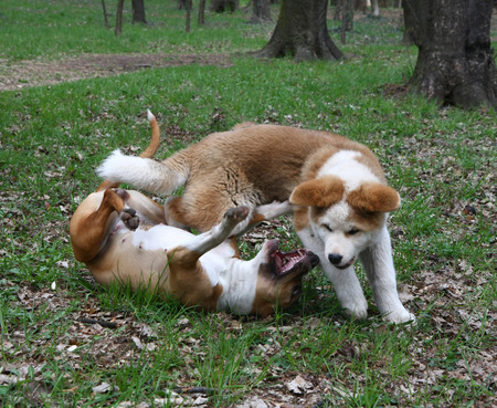 aggressiveness: Puppies of Akita inu and American Staffordshire Terrier playing in public garden