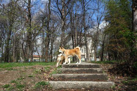 aggressiveness: Akita inu puppies walking in public park Stock Photo