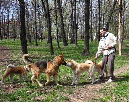 socialization: German Shepherd meets akita inu female and puppies Stock Photo