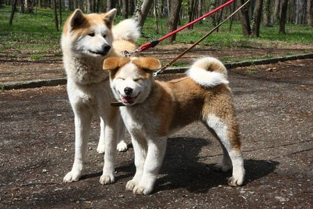 aggressiveness: Akita inu female and puppy posing in public park