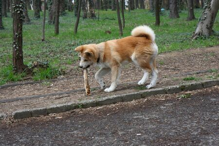 aggressiveness: Akita inu puppy walking  with piece of wood in its mouth Stock Photo