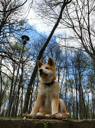 aggressiveness: Akita inu puppy protects its  piece of wood