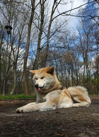 aggressiveness: Beautiful Akita inu female posing in public park Stock Photo