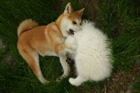 siberian samoyed: Puppies of Akita Inu and Samoyed enjoying in the game