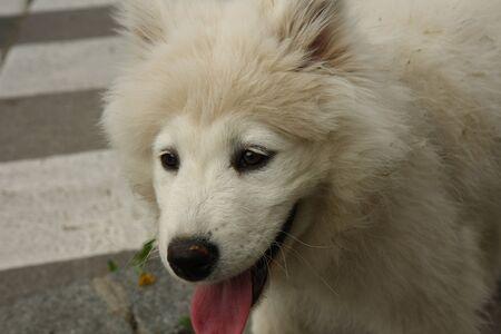 siberian samoyed: Portrait Siberian Samoyed puppy