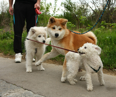 siberian samoyed: Puppies of Akita Inu, Maltese and Samoyed enjoying in the game