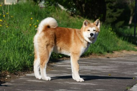 akita: Puppy of Japanese dog Akita Inu posing in the street Stock Photo