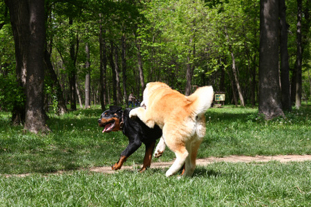 akita: Puppies of Akita Inu and Rottwiler playing in public park Stock Photo