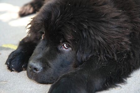 newfoundland dog: Portrait of the cute puppy of Newfoundland dog Stock Photo