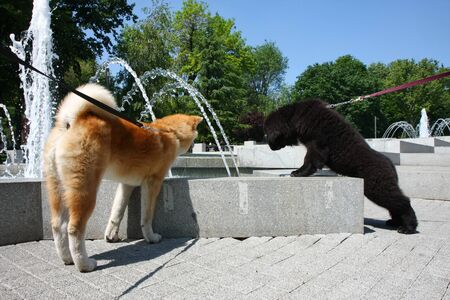 aggressiveness: Puppies of Akita Inu and Newfaundlander want to drink water in public fountain