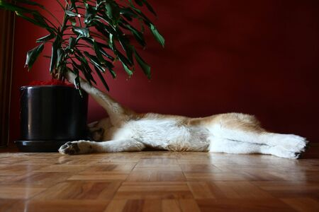 snoozing: Lazy Akita Inu puppy snoozing on the parquet
