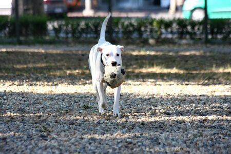 argentino: Dogo Argentino puppy palying with ball in dog park