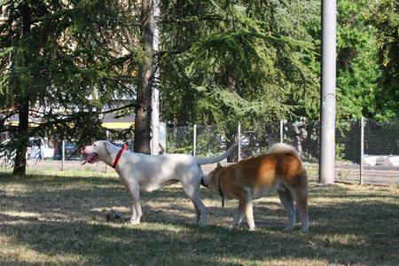 familiar: Dogo Argentino and Akita Inu become familiar in public park