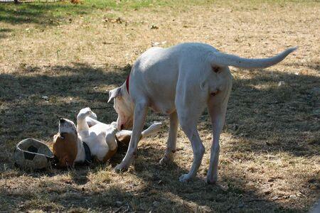 argentino: Dogo Argentino and Beagle become familiar in public park