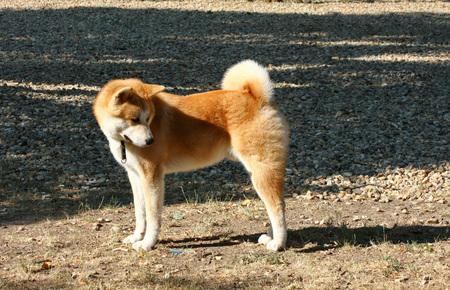 aggressiveness: Young Akita Inu  posing in dog  park Stock Photo