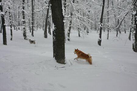 perros jugando: Perros que juegan en el bosque cubierto de nieve Foto de archivo